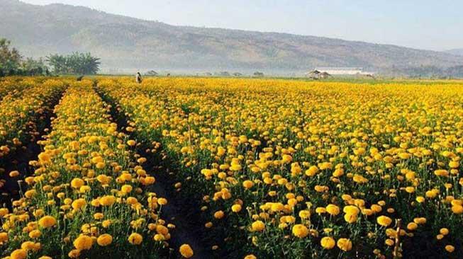 Ladang Bunga Gemitir (Marigold) Desa Temukus